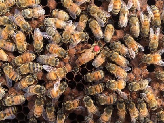 Italian Queen Bees from Olivarez Honey Bees